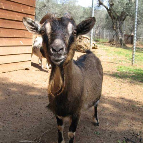 Corte degli Ulivi -capra