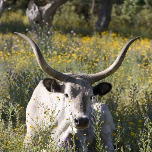 Corte degli Ulivi - mucca-683x1024