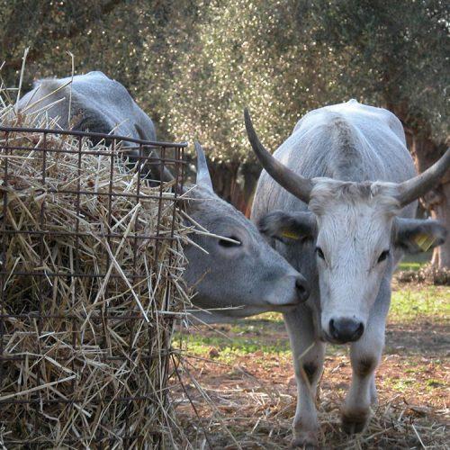 Corte degli Ulivi -vacca_maremmana