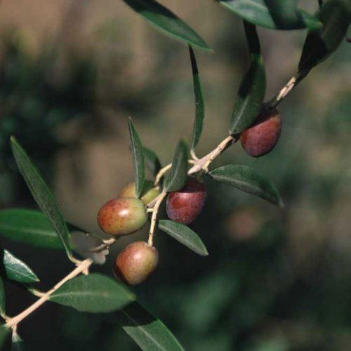 ramo_olivo